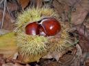 Lilliaes Chestnut Festival