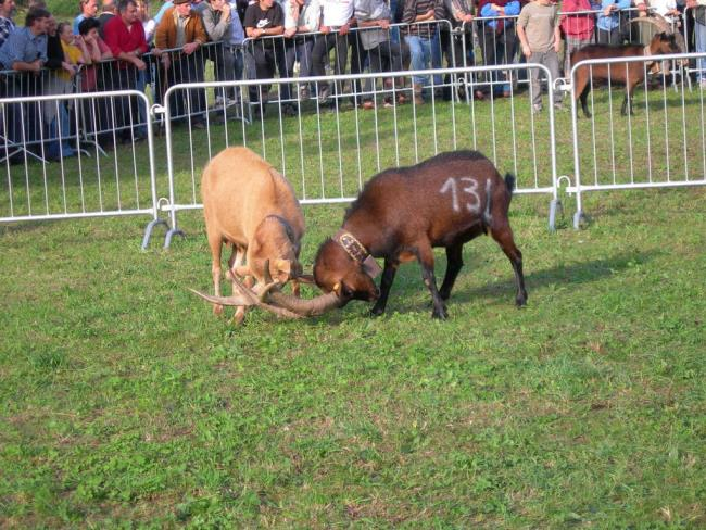 Bataille des Chèvres (Goat fight) thumbnail