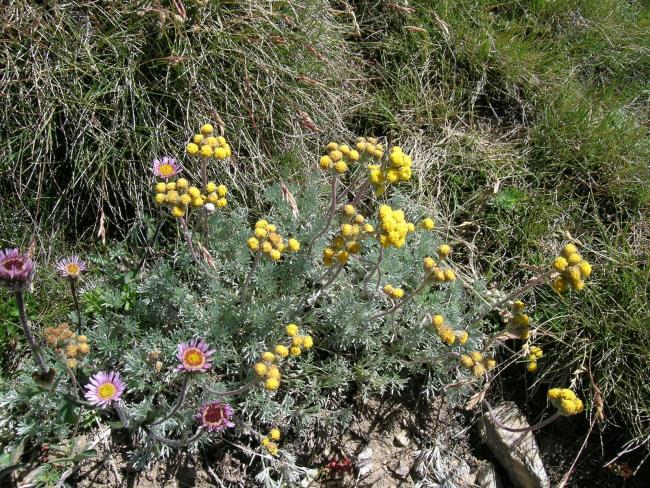 Artemisia - Exhibition of mountain plants and flowers thumbnail
