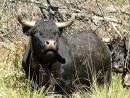 Mercato concorso tori e torelli di razza valdostana