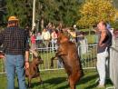 Bataille des Chèvres (Goat fight)