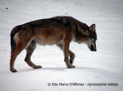 Loup (photo Marco D'Alfonso)