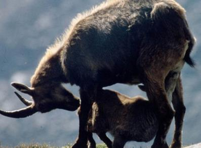 Ibex with baby
